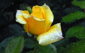 Image of yellow roase